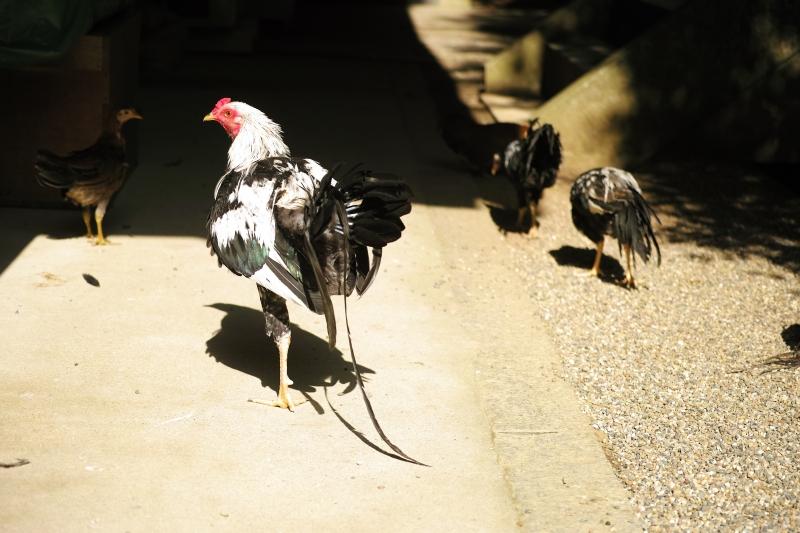 軍鶏.JPG