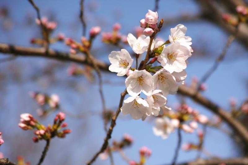 4月3日開花.JPG