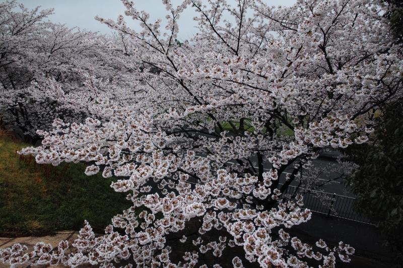 養老桜満開景色.JPG