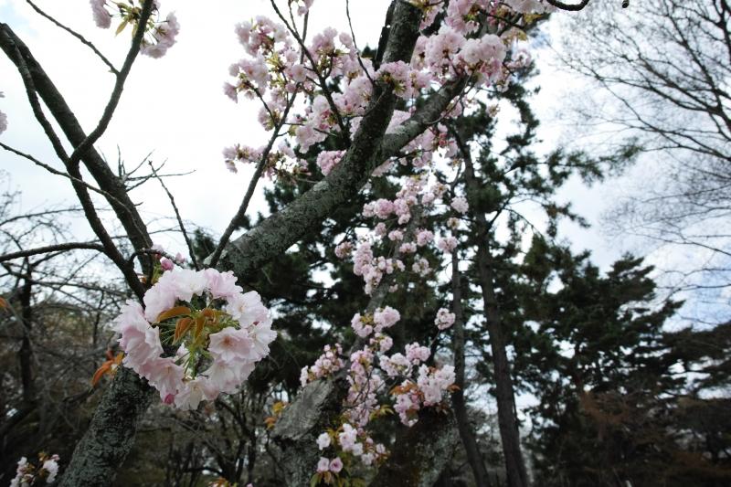 桜環.JPG