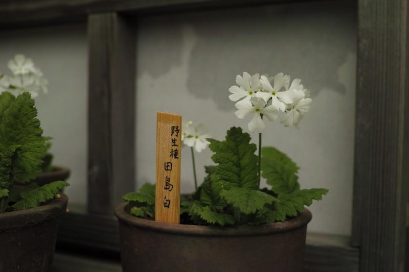 野生種 田島白.JPG