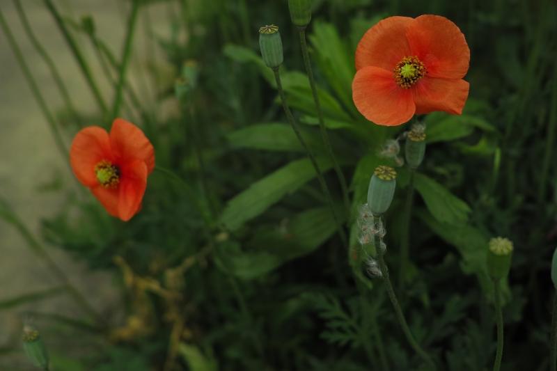咲いては散る.JPG