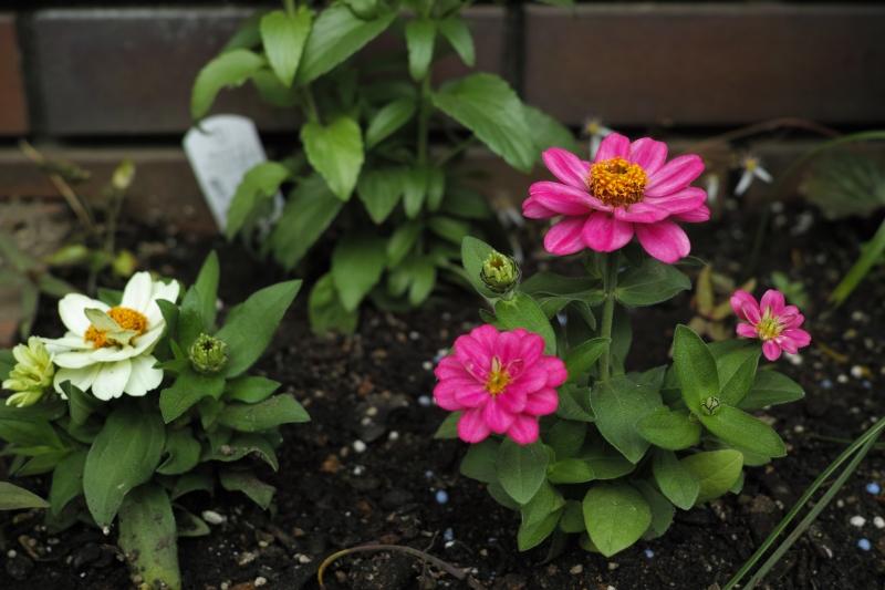 新しい花.JPG