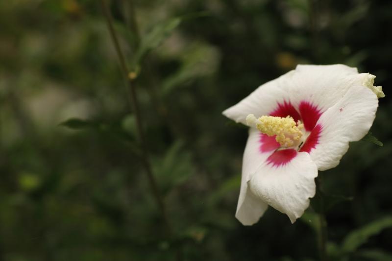 盛りを過ぎし夏の花.JPG