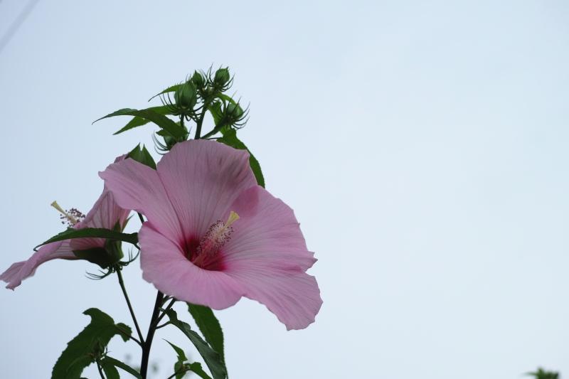 マツムラさんちの夏の花.JPG