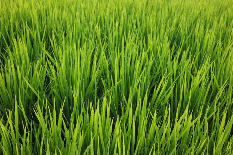 稲の歌4.JPG
