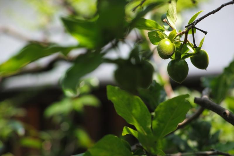 茶師の庭で−翁柿−.JPG
