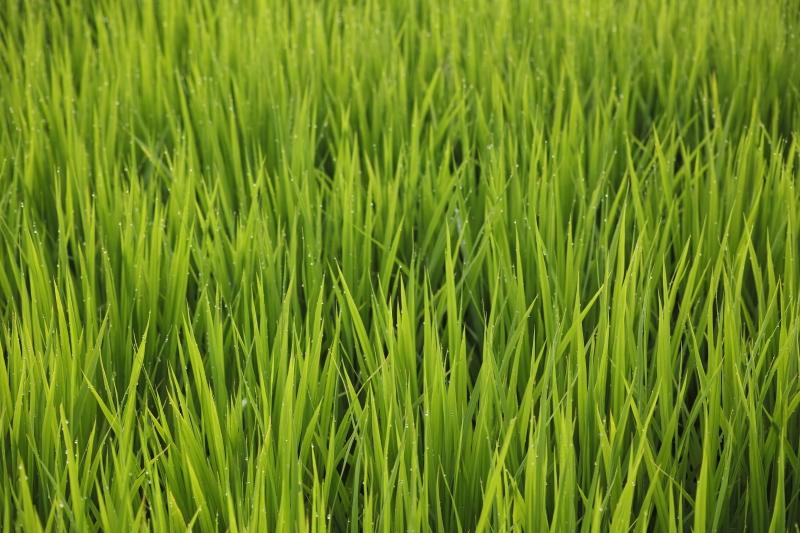 稲の歌5.JPG