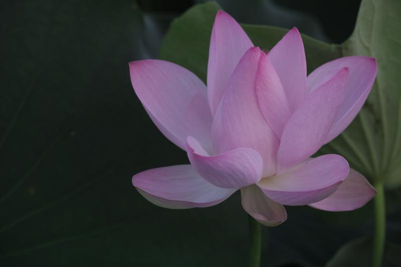 花弁の頂.JPG