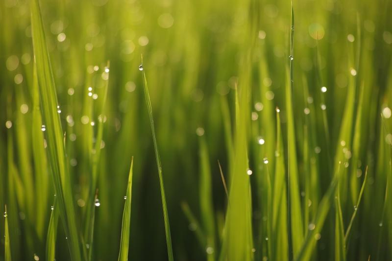 稲の歌7.JPG