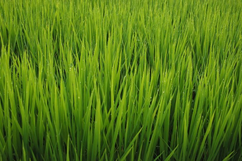 稲の歌.JPG