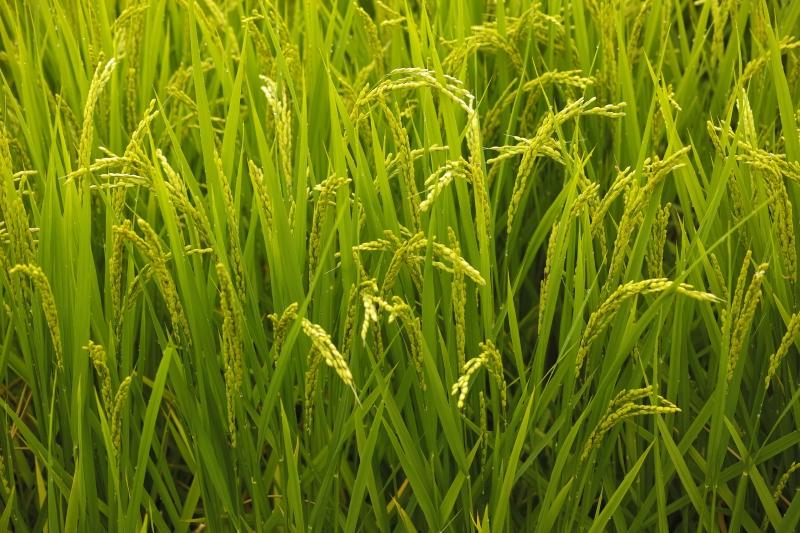 稲の歌10.JPG