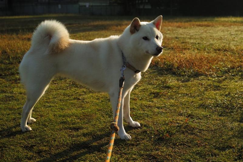 ひな子は日本犬.JPG