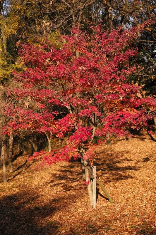 錦繍樹.JPG