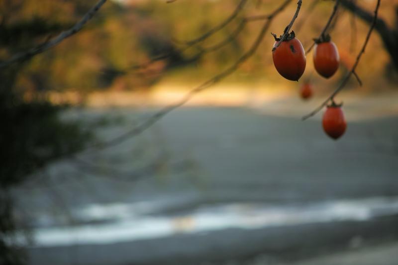 astringent persimmon.JPG