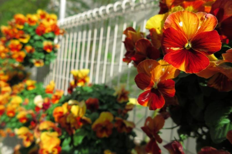 市役所前の花.JPG