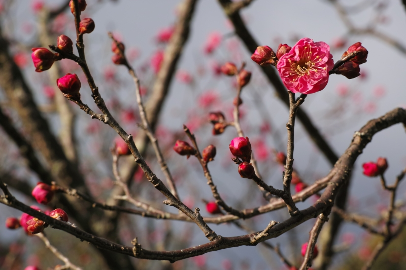 開花を誘う.JPG