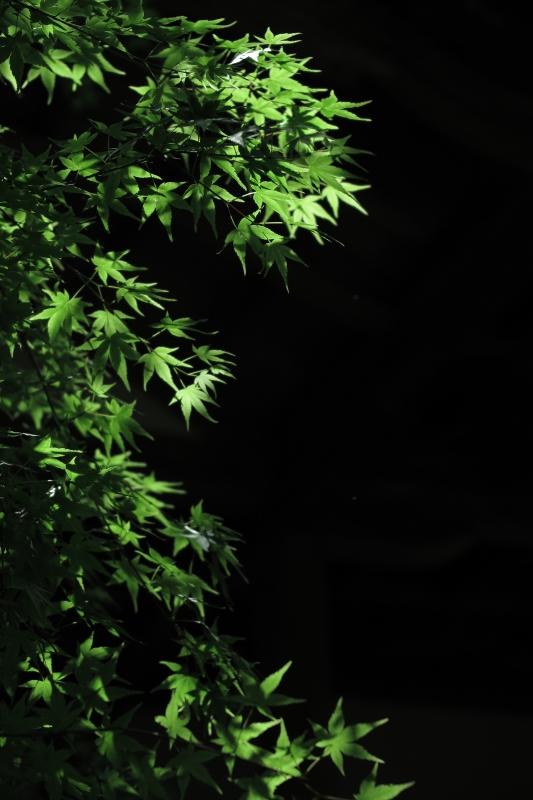 新緑揺れる.JPG