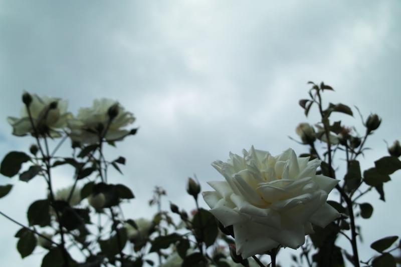 ソロプチミストの薔薇.JPG