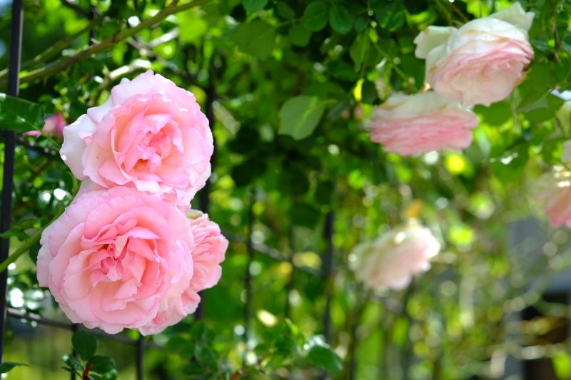 薔薇の咲く家.JPG