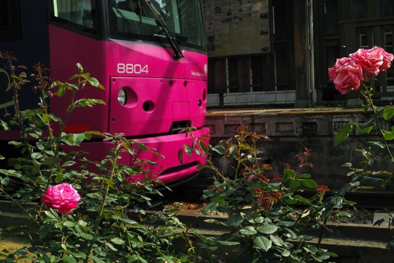 薔薇色の電車.JPG