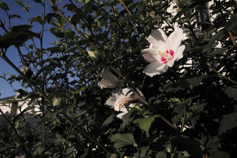 木槿咲く朝に.JPG
