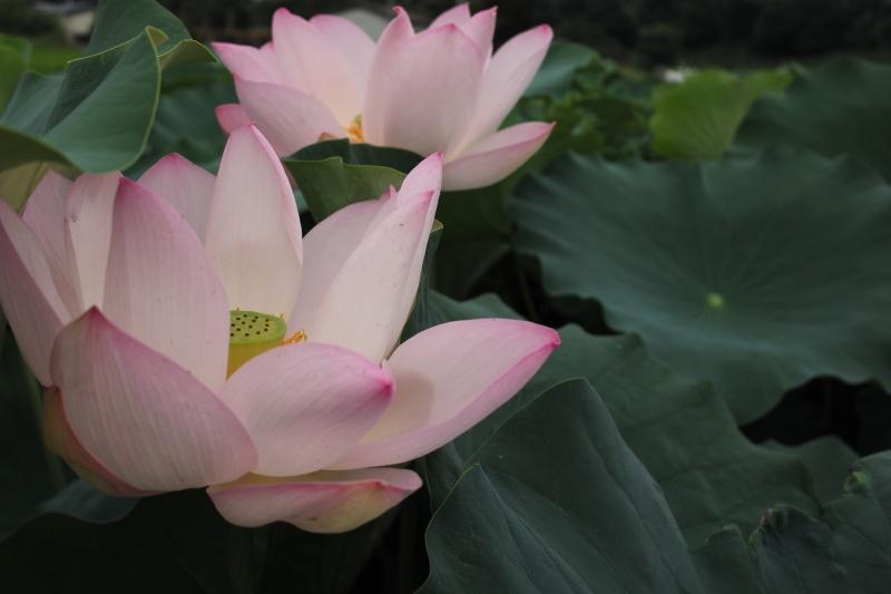 桃色花弁.JPG