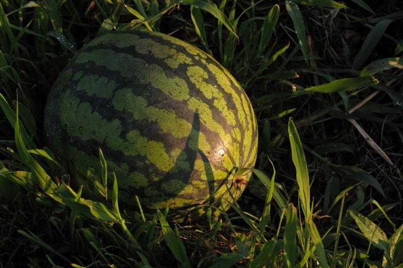 巨大な西瓜.JPG