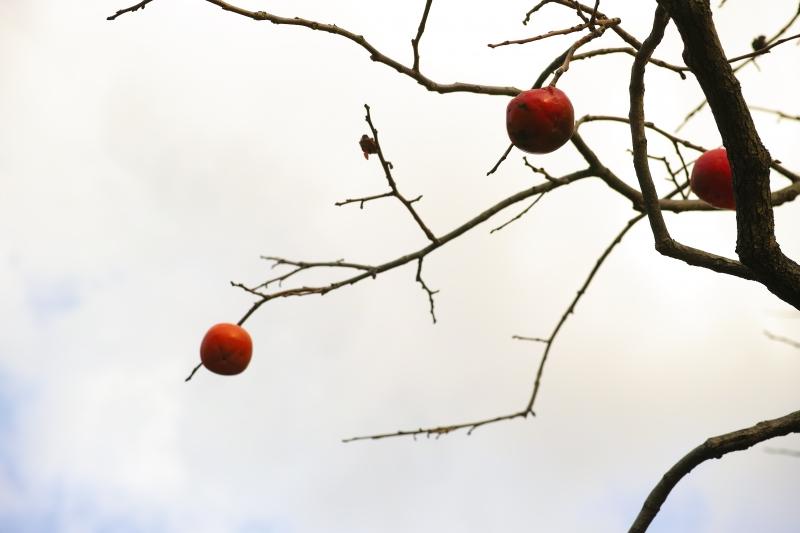 熟柿2.JPG