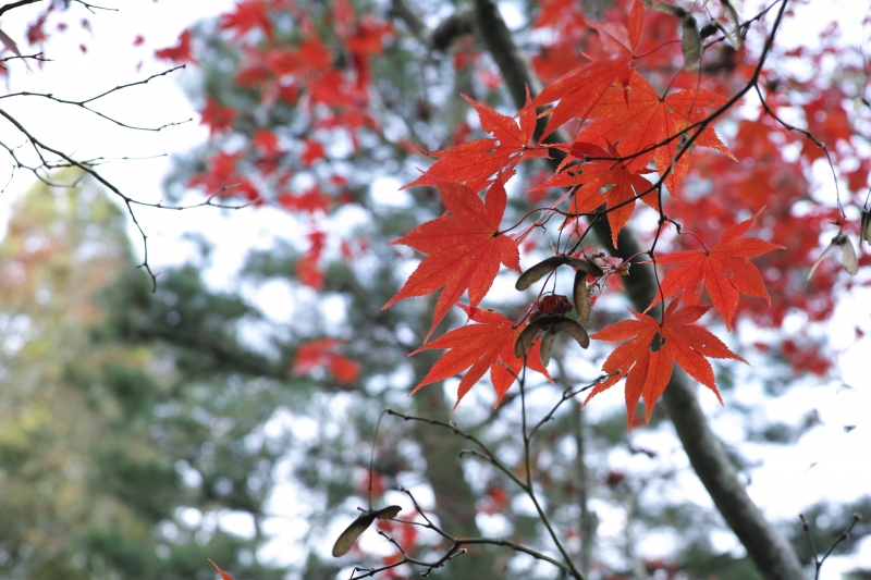 虫食い紅葉.JPG