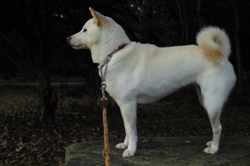 新日本犬標準.JPG
