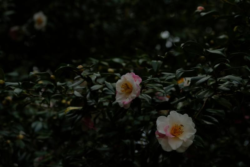 絞り山茶花.JPG