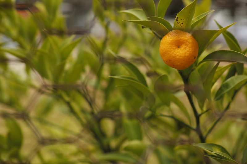 檻の中の柚子.JPG