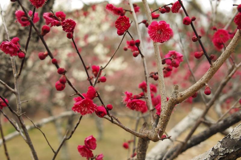 梅の春.JPG
