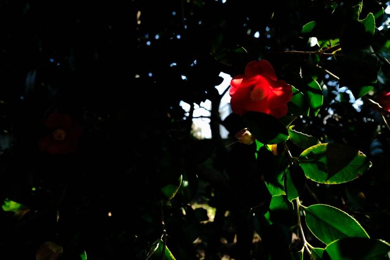 樹下椿.JPG