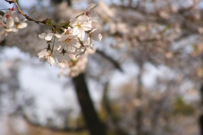 桜堤始まる.JPG