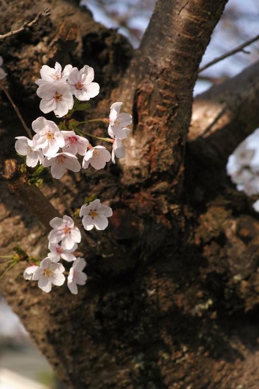 ビレッジハウスの幹桜.JPG