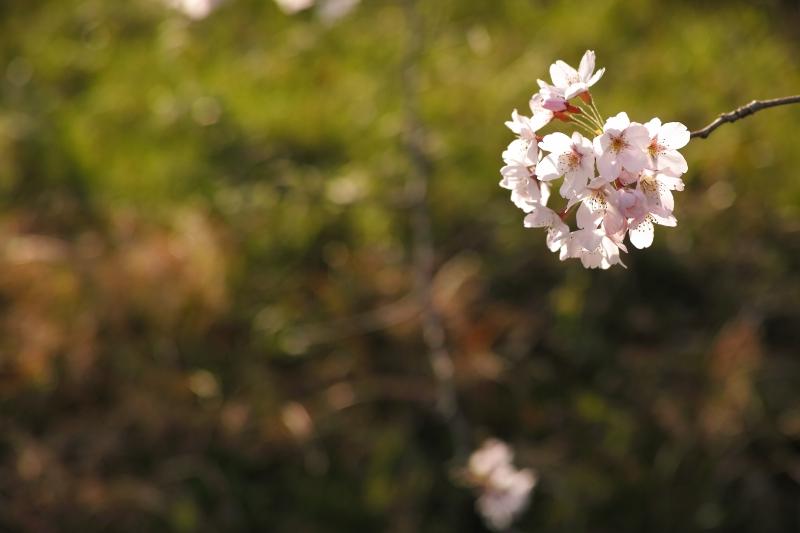 桜手鞠.JPG