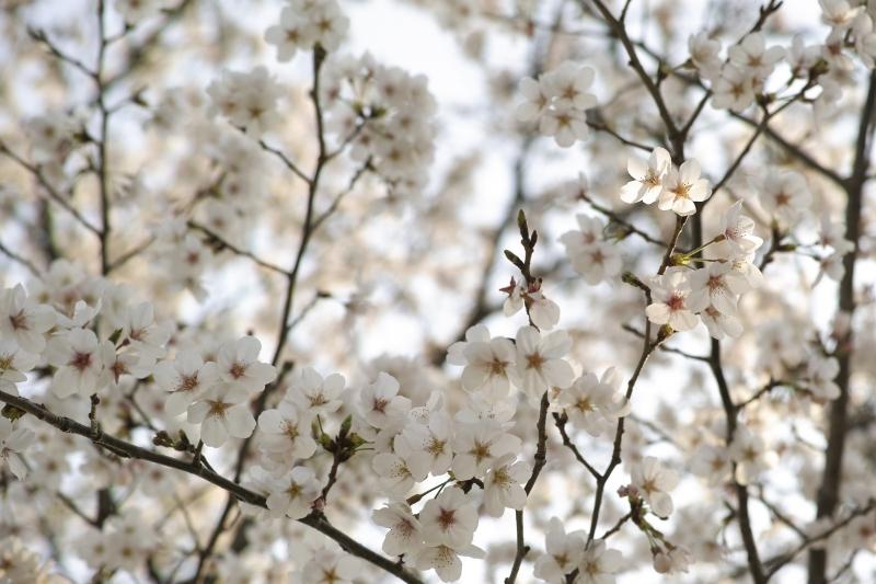 浜の池桜.JPG