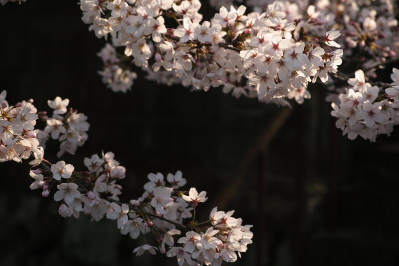 滝町の桜.JPG
