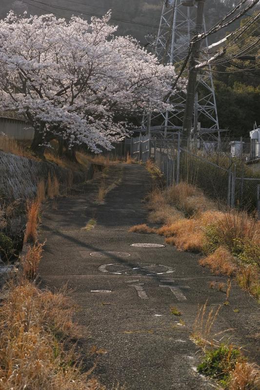 行止り桜.JPG