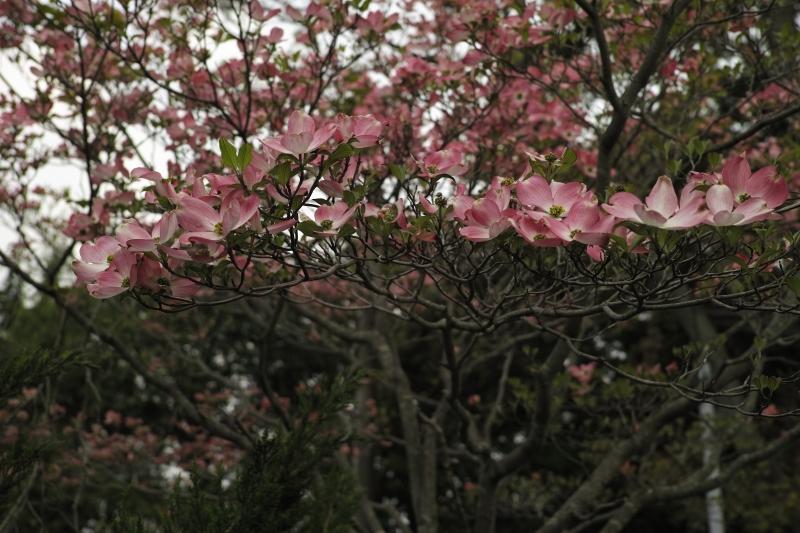 赤花水木.JPG