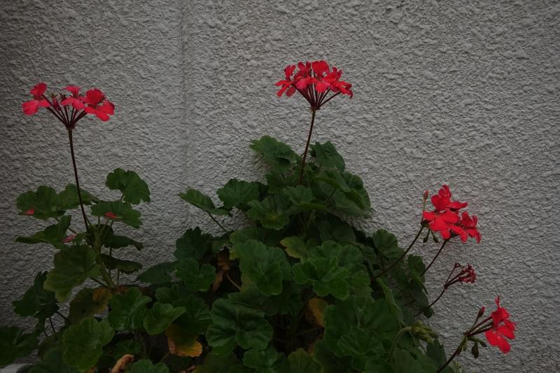 紅い花白い壁.JPG