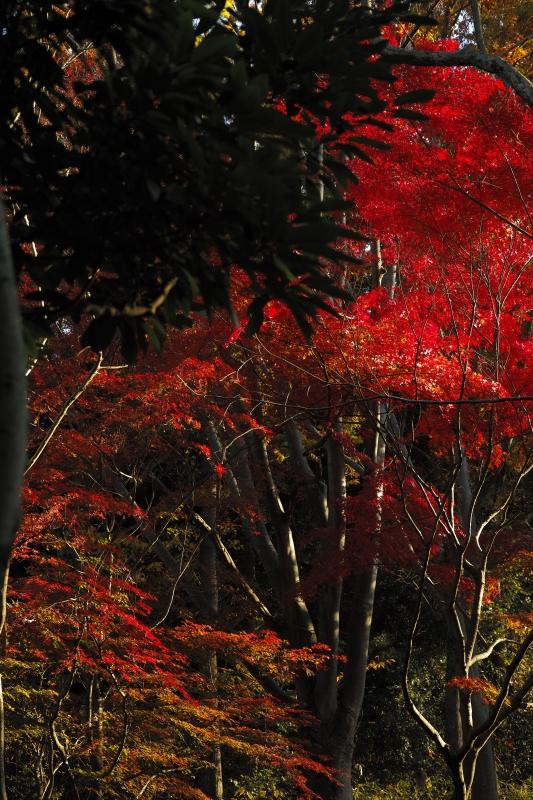 高さのある紅葉.JPG
