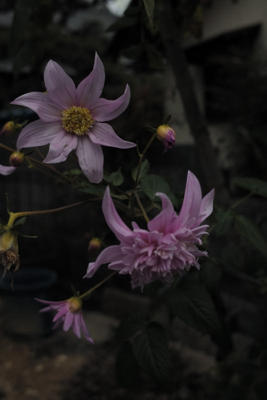 陽気ぐらしの花
