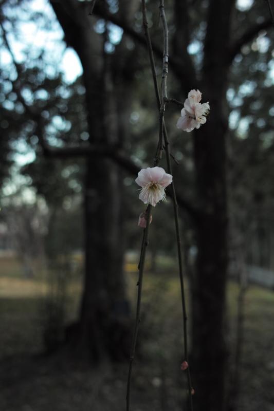 避病院跡の枝垂れ梅