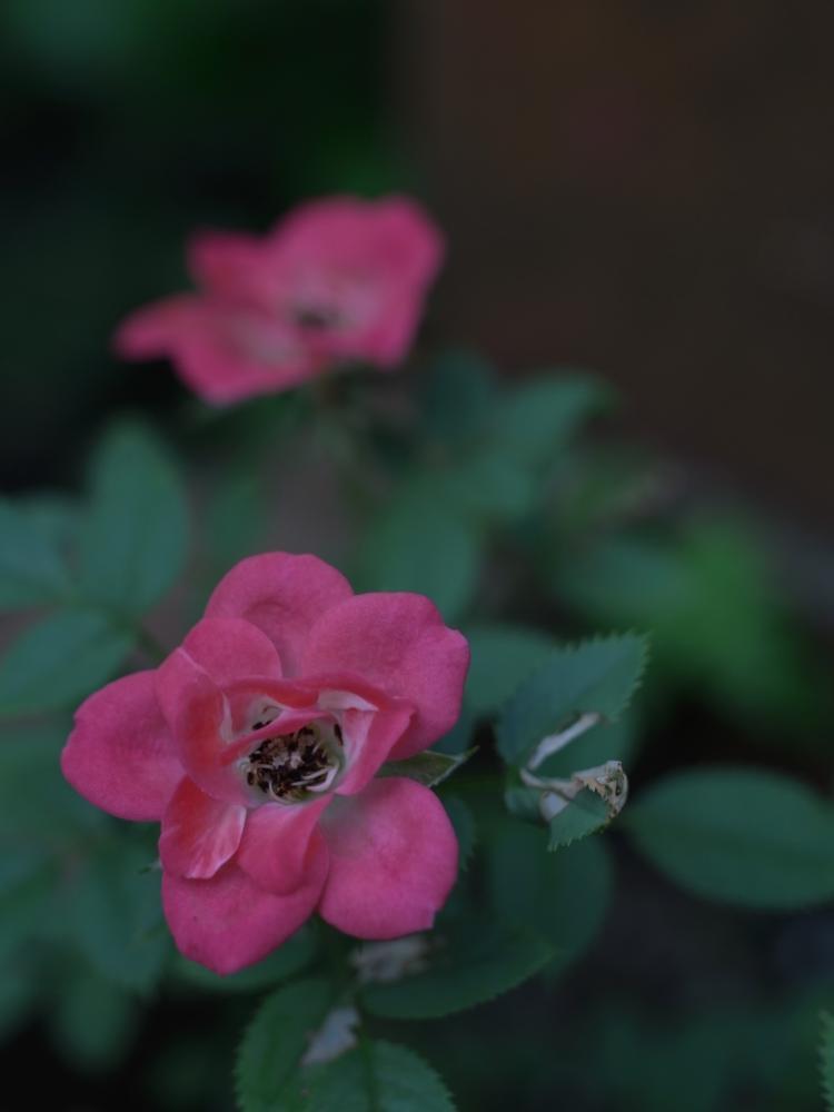 吾の庭に咲ゐてる