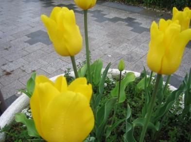 tulip