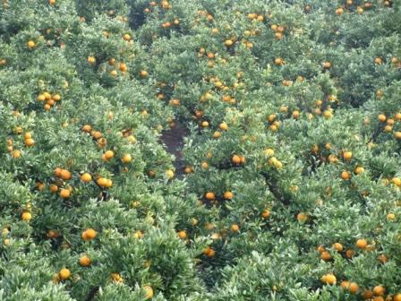 南向きの斜面で太陽を浴びる伊予柑の木々。