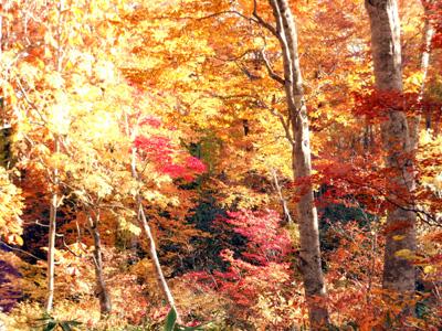 ブナ平の紅葉